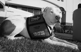 therapy dog pit bull