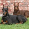 doberman liability insurance
