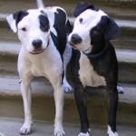 indiana dog liability