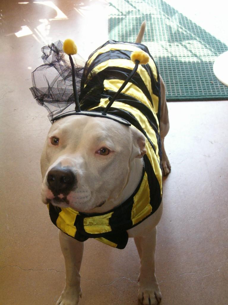 Dog Clothes Pitbulls Goldenacresdogs