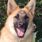 California German Shepherd Dog Liability Insurance