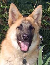 german shepherd dog liability insurance