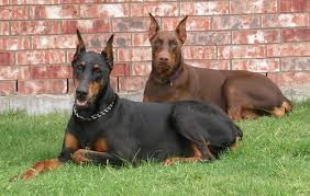 California Dog Liability Insurance for Dobermans (Doberman Pinschers)